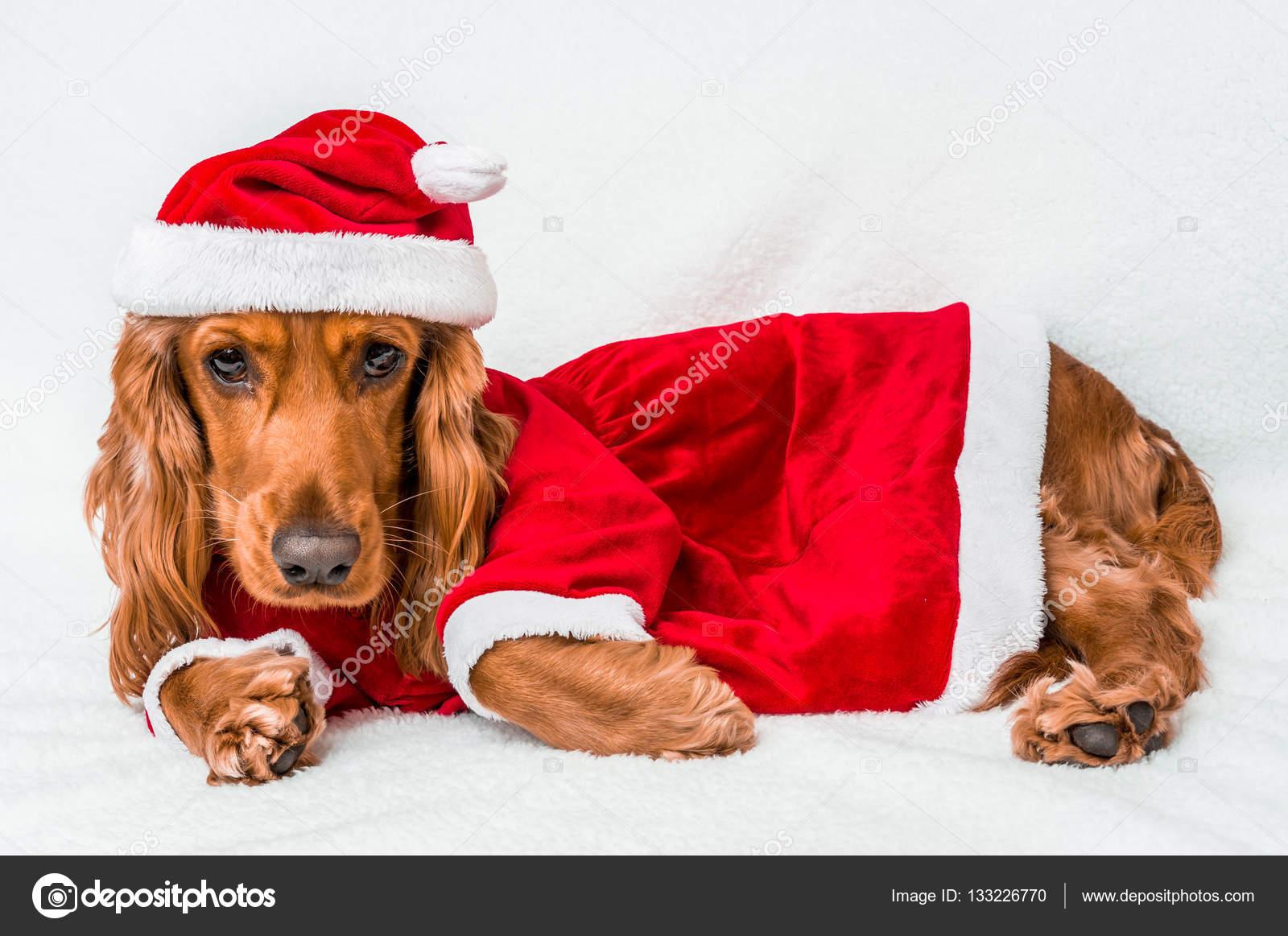 weihnachten englischer cocker spaniel in rot weihnachtskost m stockfoto 133226770. Black Bedroom Furniture Sets. Home Design Ideas
