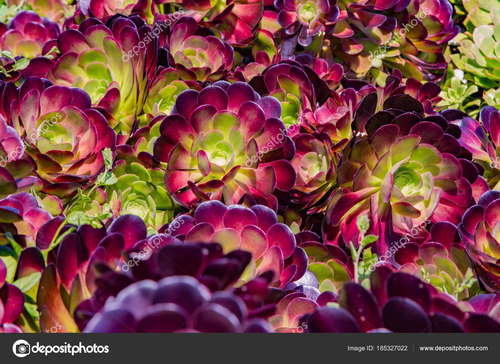 Fondos De Pantalla Plantas Suculentas Muchas Flores Suculentas