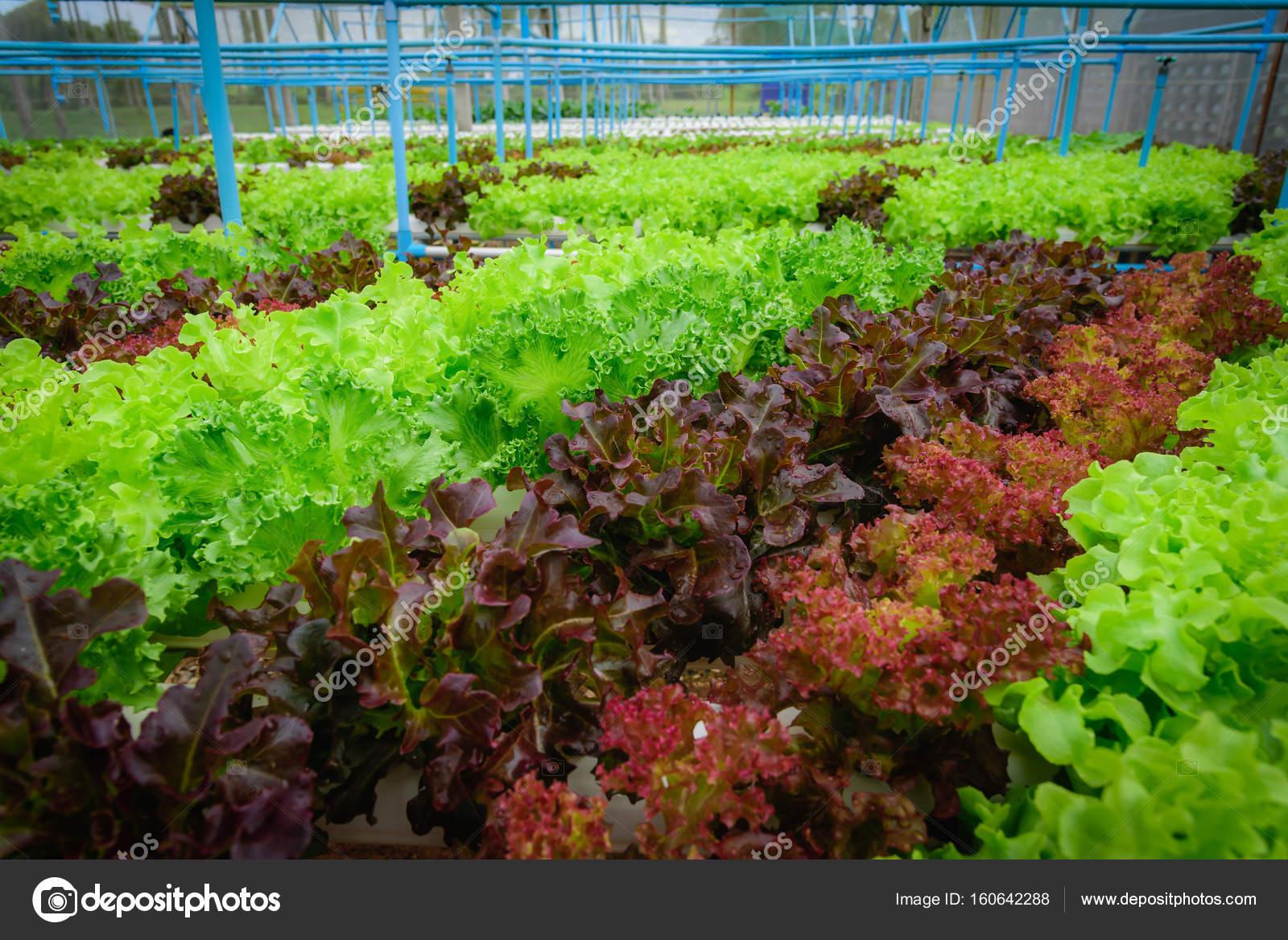 Green hydroponic organic salad vegetable in farm, Thailand ...