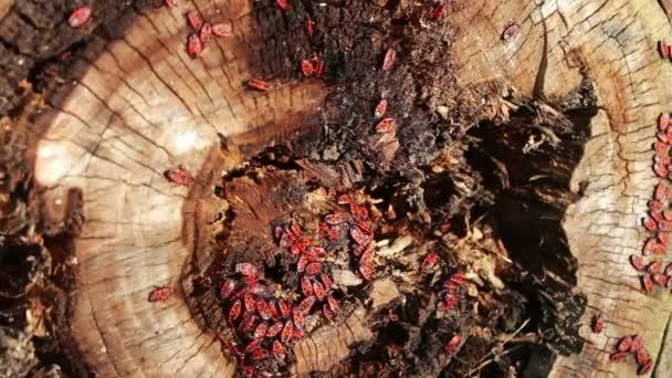 A firebug, vagy Pyrrhocoris apterus