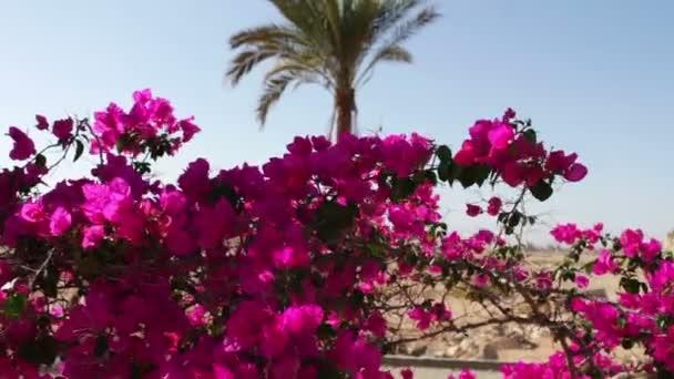 kvetoucí bush Egypt