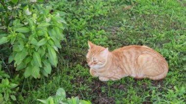 red cat lies on a green grass