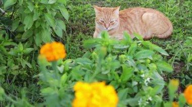 Vörös macska fekszik, a zöld fű