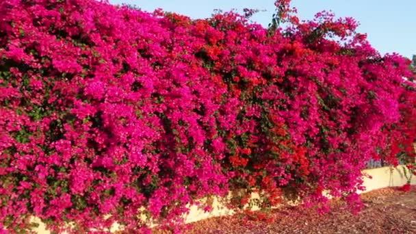 Kvete růžovými květy na plot