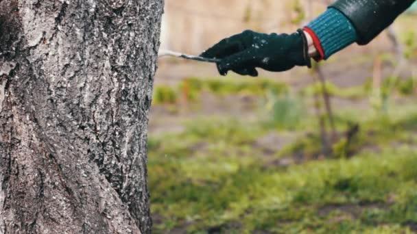 Tünchebäume im Frühling: Gärtnerin kümmert sich um die Bäume im Garten