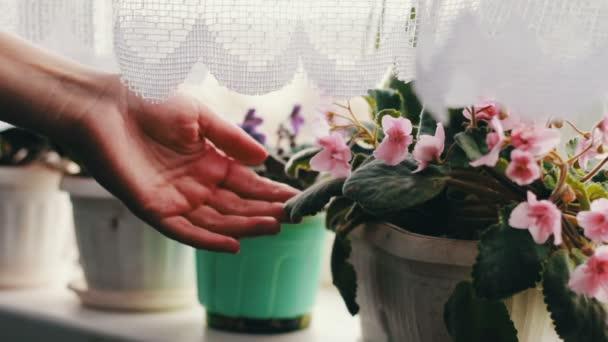 Szép virágok, lila, rózsaszín és lila az otthoni ablakpárkányon