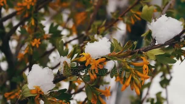 Primavera flores con hojas de color verde en la nieve. Verde ramas ...