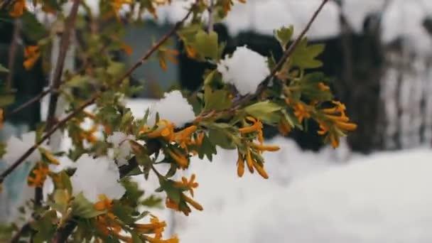 Tavaszi virágok, a zöld levelek a hóban. Zöld ágai, a hóban