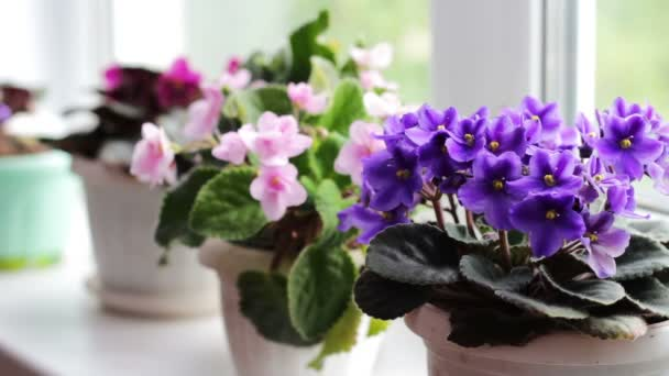 Beautiful, blooming, tender violet, red, pink violets bloom in pot on the windowsill close up