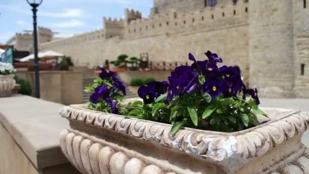 Krásné květiny modré Petunie v záhonu na ulici na pozadí zdi starého města Baku, Ázerbájdžán