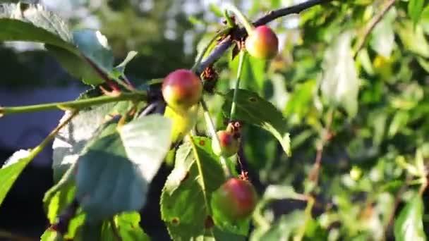 Félig érett cseresznye fa ág pár finom gyümölcs a szél. Közelről fél érett friss cseresznye