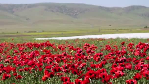 Hatalmas területen virágzó Pipacsok Dagesztánban hegyek a háttérben