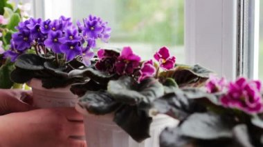 Woman remove flower pots with beautiful, blooming, tender violet, red, pink violets bloom on the windowsill