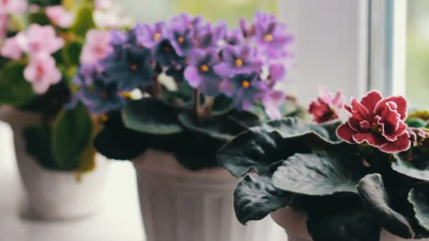 Beautiful, blooming, tender violet, red, pink violets bloom in pot on the windowsill