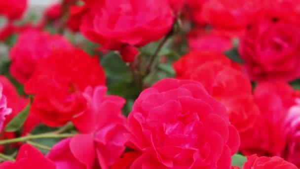 Krásné červené voňavé svěží růže v parku zblízka. Květy růže kvetou v zahradě