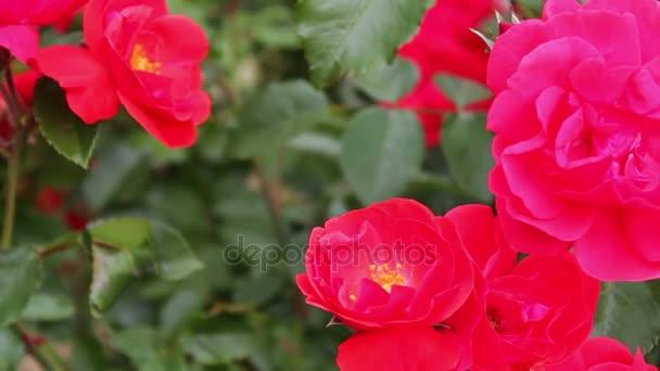 Schöne rote duftende üppigen Rosen im Park in der Nähe. Rosen-Blumen ...