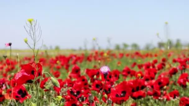 Obrovské pole kvetoucí máky v Dagestánu