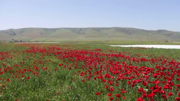 Hatalmas területen virágzó Pipacsok Dagesztánban