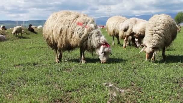 Herde weidender weißer, unkultivierter Schafe in Georgien.Eine Gruppe von Schafen, die auf einer grünen Weide starren, gehen und sich ausruhen .Video einer Gruppe von Schafen, die auf dem Feld weiden und sich von der Kamera entfernen.