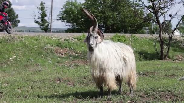 Velké chlupaté rohatou kozu stojí na trávě a rozhlédne