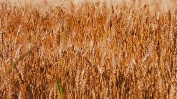 Spikes of golden wheat sway in wind in the field
