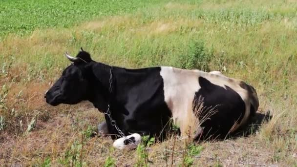 Black and white big cow grazing on beautiful meadow