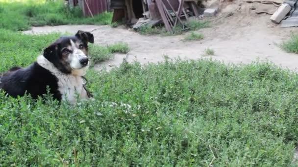 Perro viejo agotado con moscas mordidos y oídos podridos se inclina sobre  las cadenas en el patio