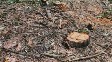 Felled tree in the forest. Stump from a newly felled tree. The problem of deforestation