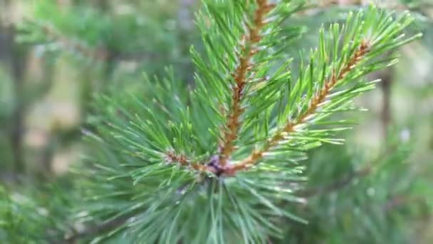 Pine branches with cones swaying in the wind. Close-up.Young green branches from a pine or a fir tree waving in the wind in the forest on summer day