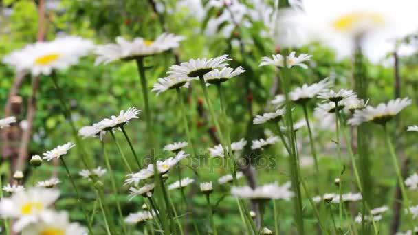 Luxusní kvetoucí sedmikrásky kvetou v letní zahradě