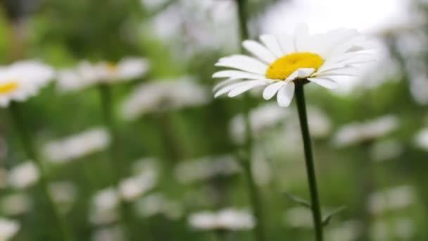 Luxurious blooming daisies bloom in summer garden