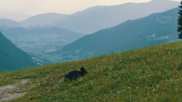niedliches, flauschiges schwarzes Kaninchen kaut Gras auf dem Hintergrund des malerischen österreichischen Tals