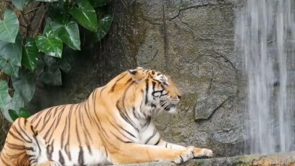 Krásný majestátní tygr na pozadí malebný vodopád