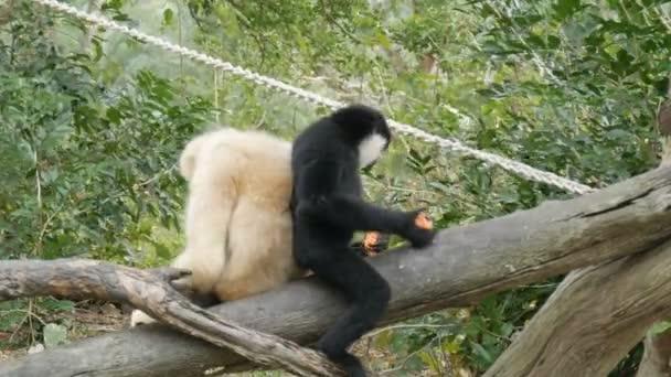 Černá a bílá gibbon sedí na větvi