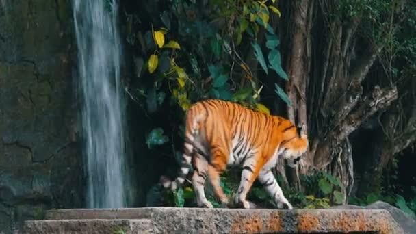 Gyönyörű fenséges tigris, a háttérben a festői vízesés