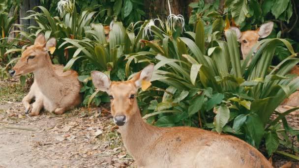 Krásný jelen sedět v zelené křoví. Ruční jelen v zoo khao kheo, Pattaya, Thajsko