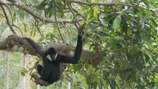 Black Gibbon ride on the tree branches