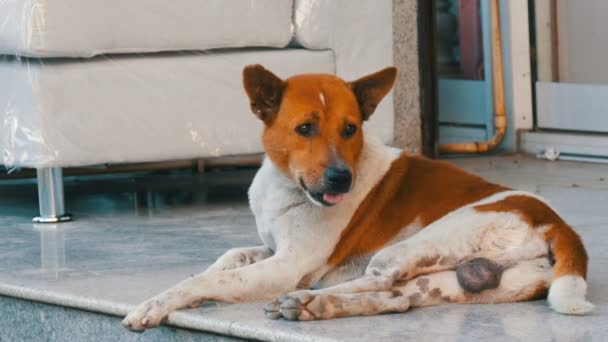 White-brown stray dog lies on the street of a furniture store against a white sofa