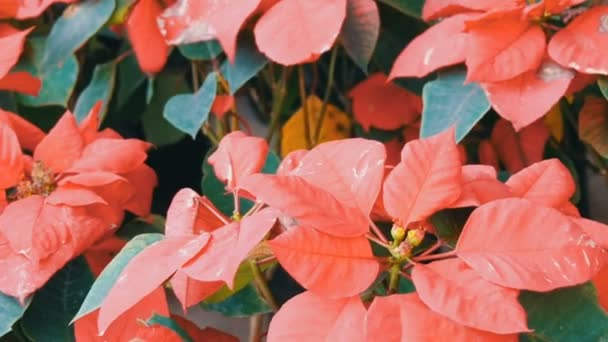 Krásné červené zahradní květiny ve skleníku nebo Botanická zahrada