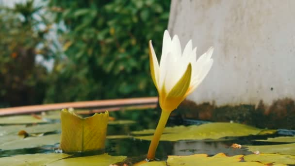 Dekorativní zahradní lilie v umělé jezírko. Krásná bílá dekorativní květina v malé umělá nádrž