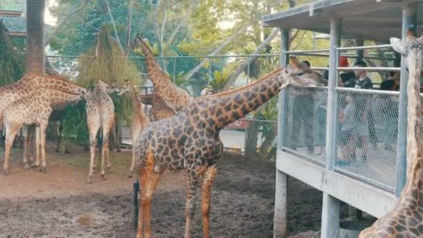 Pattaya, Thajsko - 30 prosince 2017: Žirafa jde do lidí a jí ze svých rukou. Krokodýlí farma.