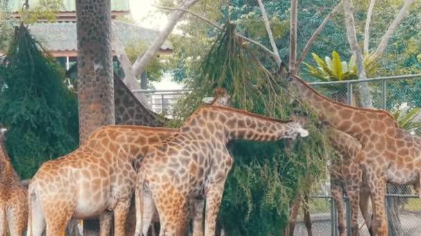Žirafy v zoo jíst ve voliéře