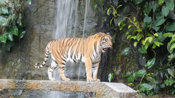 Beautiful majestic tiger on the background of picturesque waterfall