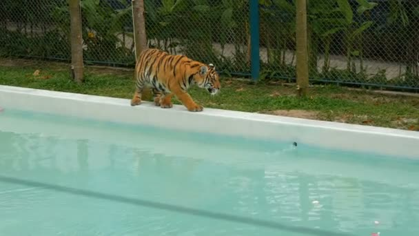 Tiger walking near a blue pool