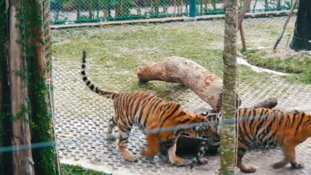 Tiger funny bites a tail of another tiger