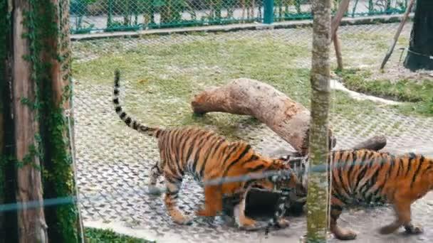 Tigre divertente morde una coda di unaltra tigre