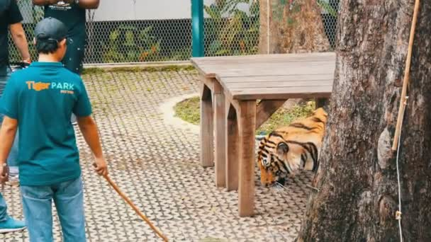 PATTAYA, THAILAND - DECEMBER 29, 2017: Tiger Zoo. Tigers walk behind a fence. Tourists and zoo workers walk with a tiger
