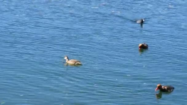 Lustige süße schwarze Enten schwimmen durch klares Wasser im Tegernsee, Bayern
