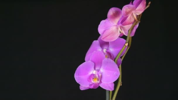 Krásné kvetoucí fialová orchidej květina ve stylovém černém pozadí