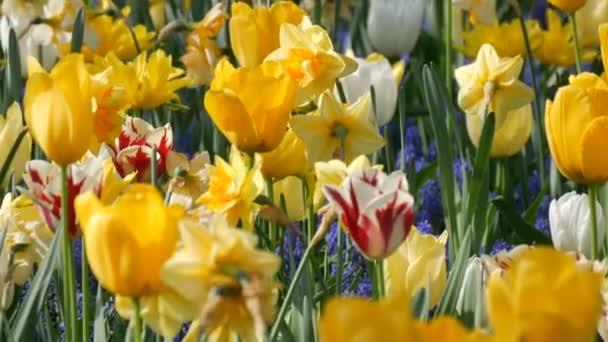Gyönyörű virágzó sárga tulipánok és nárciszok a tavaszi kertben.